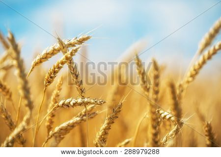Close up of wheat ears. Golden wheat field over blue sky at sunny day.