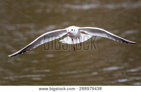 A Black-headed Gull (chroicocephalus Ridibundus, Also Called Larus Ridibundus) Showing Winter Plumag