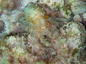 Camouflaged Mediterranean octopus on the seabed poster