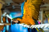 Macaw parrot sitting on a rope in an ornithological park in winter in Zakopane. poster
