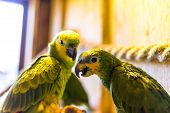 Green parrots sitting on a rope in an ornithological park in winter in Zakopane. poster