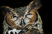 Great Horned Owl (Bubo virginianus) also known as the Tiger Owl poster