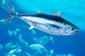 Bluefin tuna Thunnus thynnus saltwater fish in mediterranean poster