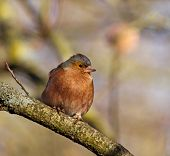 Male Chaffinch in winter sunlight perched on branch. poster