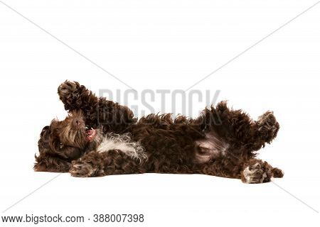 Chocolate Cockapoo Puppy Dog