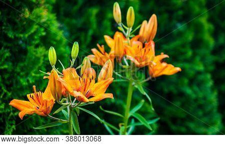Chinese Daylily (hemerocallis Fulva) Flowers In Bloom Closeup
