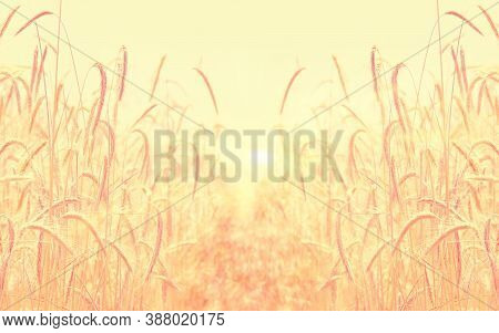 Fields Of Wheat. Ripe Grains. Spikelets Of Wheat Grow In A Field On A Farm. Wheat Crop. Nature Of Uk