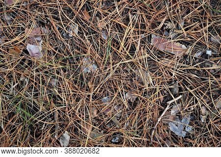 Dried Pine Needles Texture Background. Abstract Pine Needles Fall Pattern On Ground.