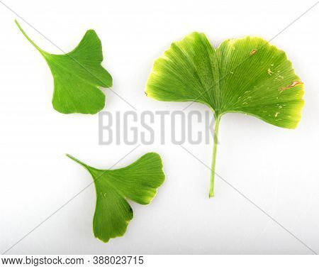 Ginkgo Biloba Leaf Against White Background - Stock Image