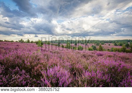 Clouds And Heather Blossom In The Lueneburger Heide In Nothern Germany