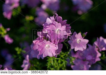 Musk Mallow (malva Moschata Rosea) Flowers In Evening Sunlight