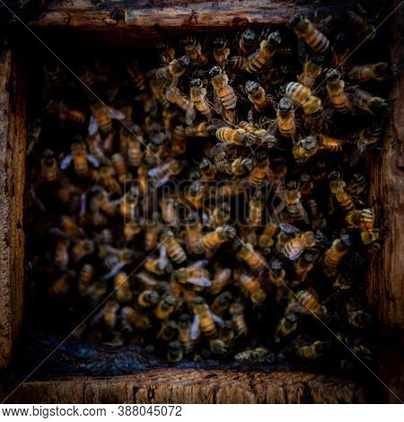 Frantic Mass Of Bees Swarming In Hive