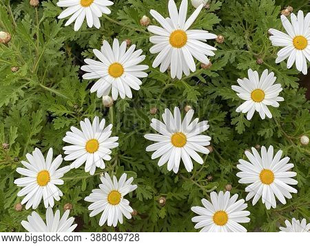Photo Of The Flower Of Leucanthemum Vulgare, Commonly Known As The Ox-eye Daisy, Oxeye Daisy, Dog Da