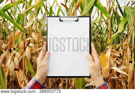 Hands Holding A Clipboard With Blank White Paper On Maize Corn Field Background Summer Time