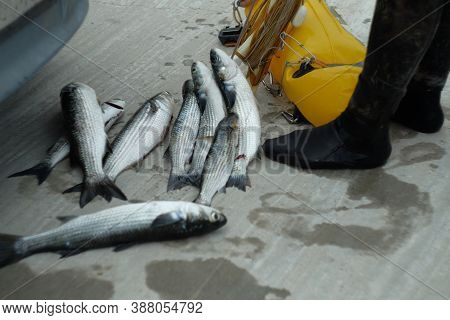 Fisherman With Caught Fish. Scuba Diver With Caught Fish. Freshly Fish Caught One By One