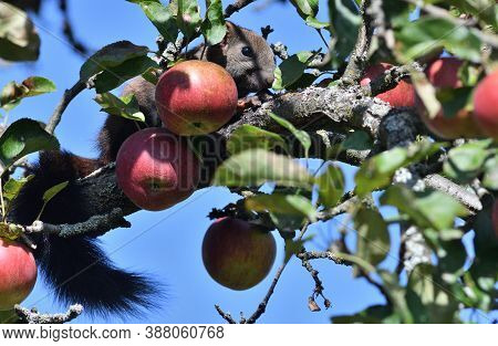 Red Squirrel Climbs A Tree With Apples In The Garden