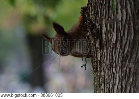 A Red Squirrel Peeks Out Its Head From Behind A Tree In Autumn