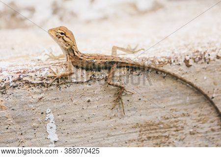 Baby Oriental Garden Lizard (calotes Versicolor) On The Leaves. Found Widely In Asian Countries. Cam