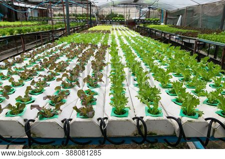 Organic Farming. Hydroponic Organic Vegetables Are Growing In Greenhouse For Export To The Market. I