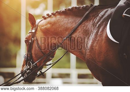A Beautiful Bay Racehorse With A Braided Mane And A Saddle On Its Back Is Led By The Bridle Rein In