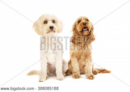 White Mixed Breed Dog And A Brown Cockapoo