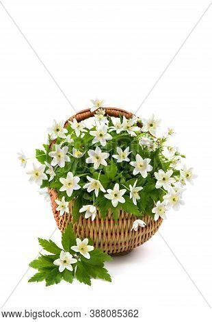 Beautiful Bouquet Of Anemone Nemorosa (common Names: Wood Anemone, Windflower, Thimbleweed, And Smel