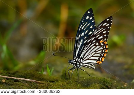 The Common Mime - Chilasa Clytia Or Papilio Clytia, Swallowtail Butterfly Found In South And Southea