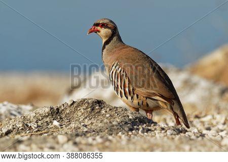 Chukar (alectoris Chukar) On The Rock In Corfu, Greece. Chukar Partridge (alectoris Chukar), Or Simp