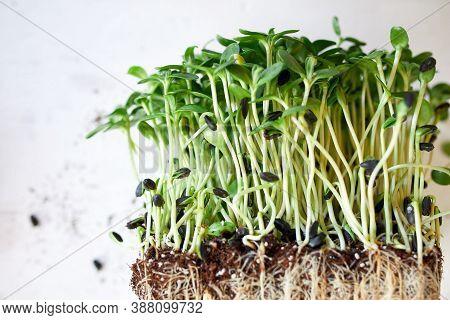 Microgreens Sunflower On White Background, Vegan Micro Sunflower Greens Shoots