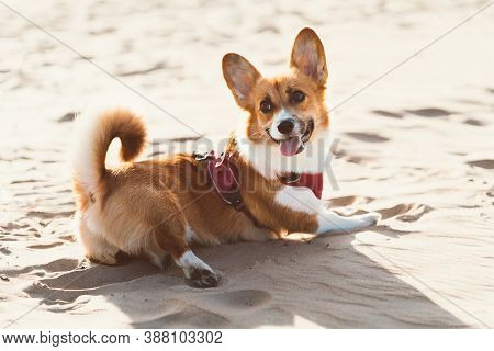 Beautiful Dog On Sandy Beach. Corgi Puppy Walks In Nature In Summer In Sunshine Near Coastline