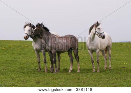 Shagya Arab Horses