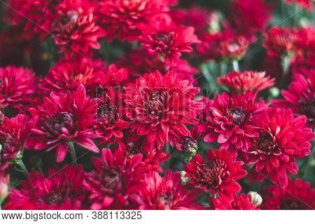 Dark Red Chrysanthemums, Autumn Flowers. Floral Background. Gift Card, Blossom Pattern. Flowering, N