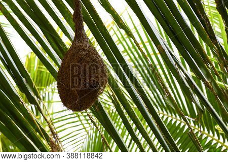 A Close Shot Of Baya Weaver Bird Nest Hanging In Palm Tree