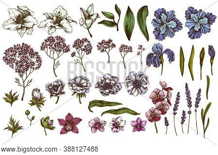 Vector Set Of Hand Drawn Colored Anemone, Lavender, Rosemary Everlasting, Phalaenopsis, Lily, Iris S