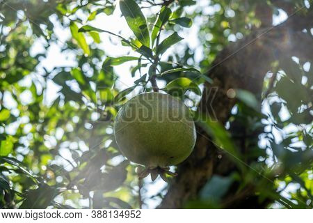 Healthy Lifestyle Concept. Pomegranate Tree, Punica Granatum, And Their Green Unripe Fruit. Closeup,