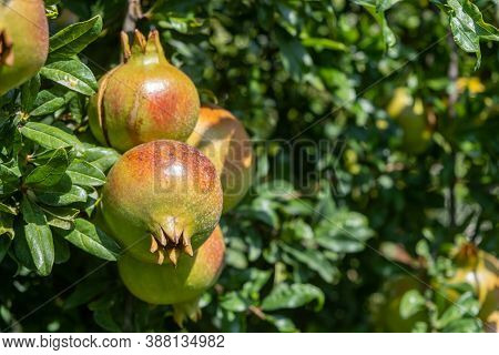 Healthy Lifestyle Concept. Pomegranates Trees, Punica Granatum, And Their Fruits. Closeup View.