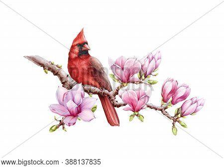 Red Cardinal Bird With Magnolia Flowers Watercolor Illustration. Hand Drawn Close Up Beautiful Bird