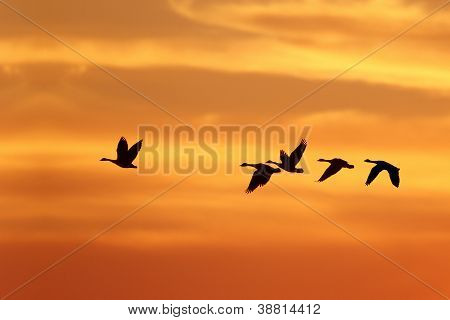 Canada Goose (Branta canadensis) Leading Rest of Flock on Migration South Against a Sunset - Grand Bend Ontario Canada poster