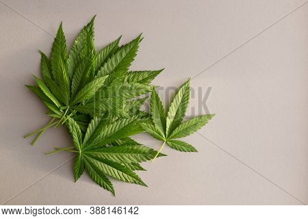 Hemp Or Cannabis Leaves On A Gray Background. Hemp As A Material For The Manufacture Of Oil, Clothin