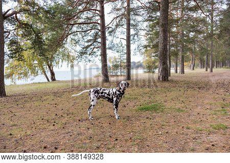 Dog Breed Dalmatian On A Walk Beautiful Portrait.portrait Of Dalmatian In A Collar For A Walk In A F