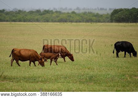 Meadow With Grazing Cows And Calves Herd Of Cows Grazing In A Pasture In Summer. Cute Little Calfs G