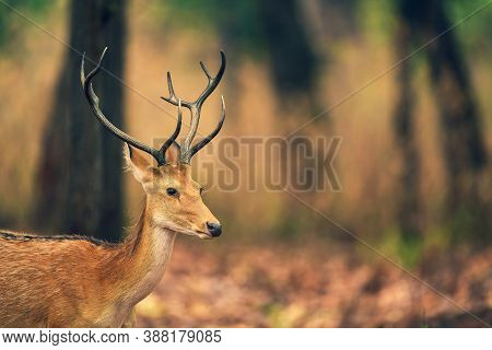 Male Barasingha Or Rucervus Duvaucelii Or Swamp Deer Closeup Of Elusive And Vulnerable Animal At Kan