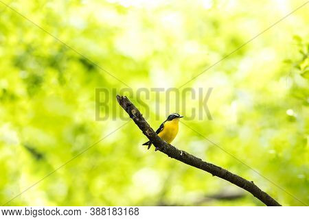 Yellow-rumped Flycatcher, Korean Flycatcher (ficedula Zanthopygia) Or Tricolor Flycatcher