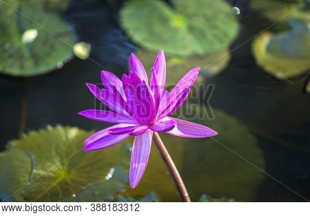 Beautiful Pink Waterlily Or Pink Lotus Flower In The Pond Background