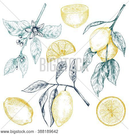 Vector Collection Of Hand Drawn Fresh Lemon Tree Branches, Fruits And Flowers.