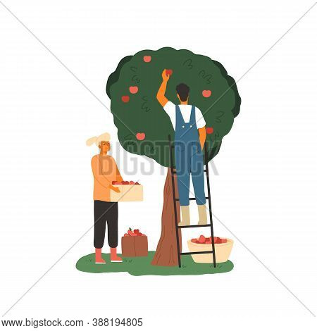 Couple Of Farmers Picking Apples From The Tree. Agricultural Workers Gathering Fruits In The Garden.