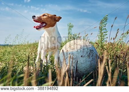 Happy Smile Dog Play With Ball In The Field In Summer Day. Jack Russel Terrier Dog Playing Outdoors