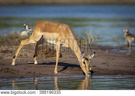 Female Impala Standing At The Edge Of Water Drinking In Chobe River In Botswana