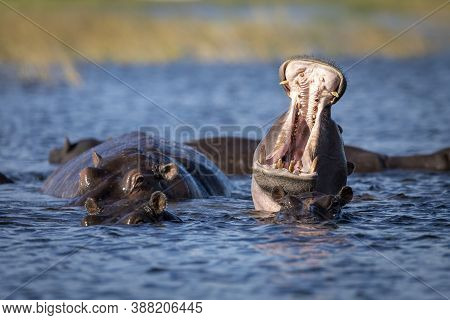 Hippo Yawning With Mouth Open In Chobe River In Botswana