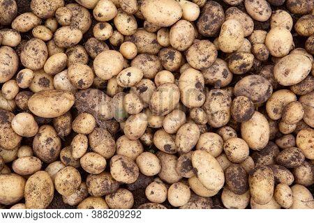Freshly Dug Potatoes On A Farm Plot. Fresh Harvest